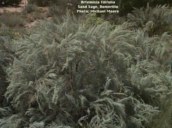 Sand Sagebrush