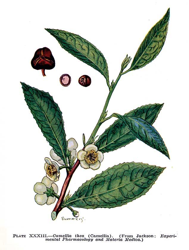 Tea Plant To Teas
