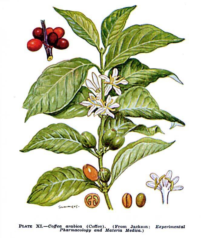 Food the coffee plant for Coffea arabica