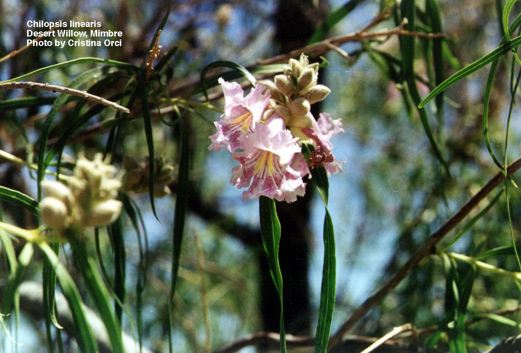 List of Latin Botanical Tree Names Genus and Species