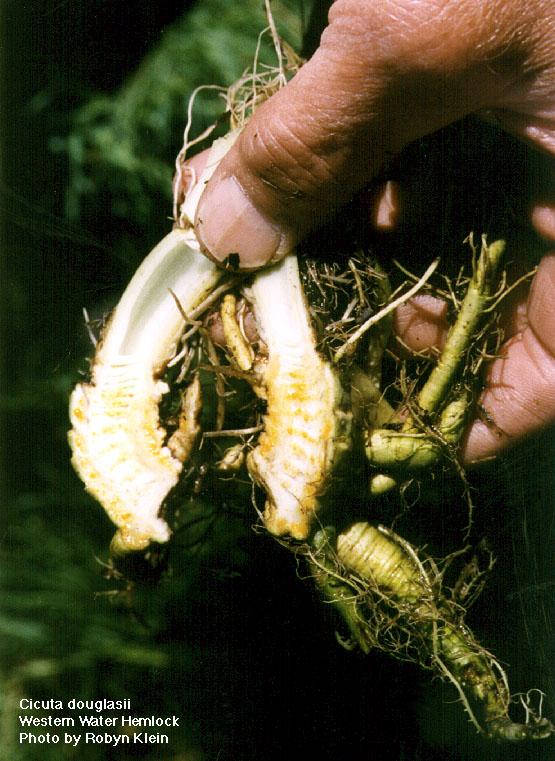 Water hemlock root