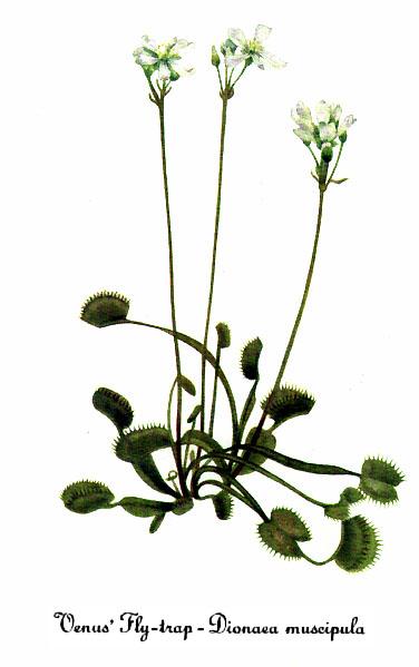 Dionaea_muscipula.jpg