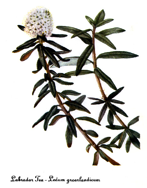 Labrador Tea Drawing Labrador Tea
