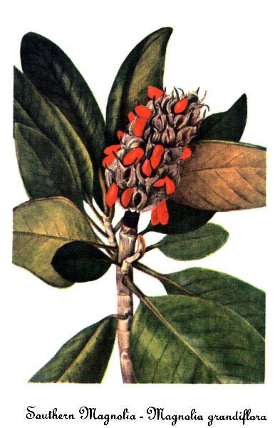 southern magnolia tree flower. Magnolia grandiflora.jpg 64K