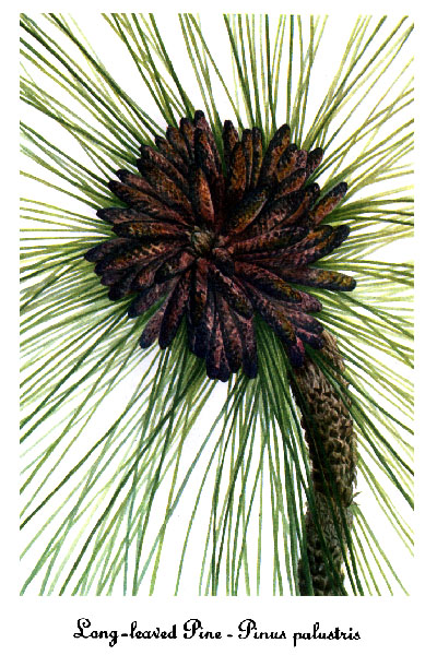 Pinus Palustris Drawing