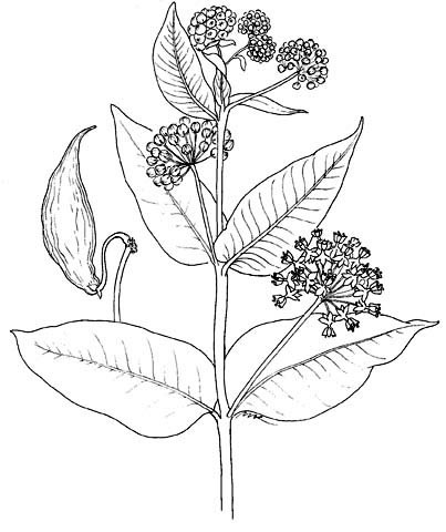 Plant illustrations by mimi kamp asclepias erosag ccuart Choice Image