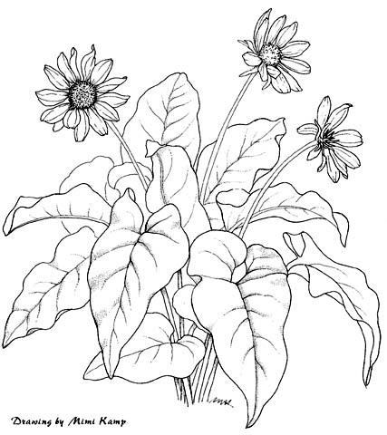 Plant illustrations by mimi kamp balsamorhiza sagittatag ccuart Gallery