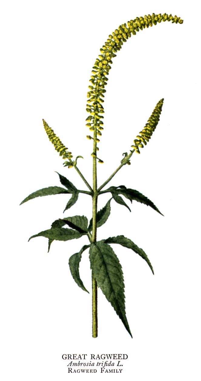 ragweed picture