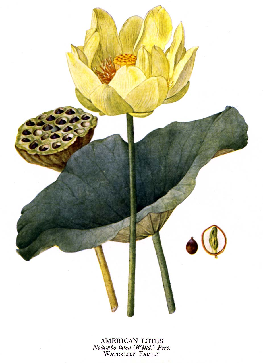 Permaculture plants water lotus temperate climate permaculture izmirmasajfo Image collections