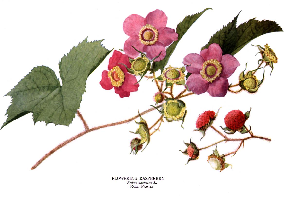 Raspberry Plant Drawing Debut chance raspberry